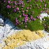 Blühendes Moos am Wegesrand