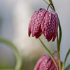 Schachbrettblume (Garten)