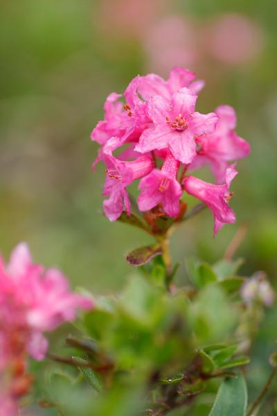 Bewimperte Alpenrose (Almrausch; Hochschwab 1.650m)