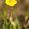 Unbekannte Blume (Hochschwab 1.850m)