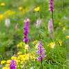 Orchideen auf der Allm (vermutlich Männliches Knabenkraut)