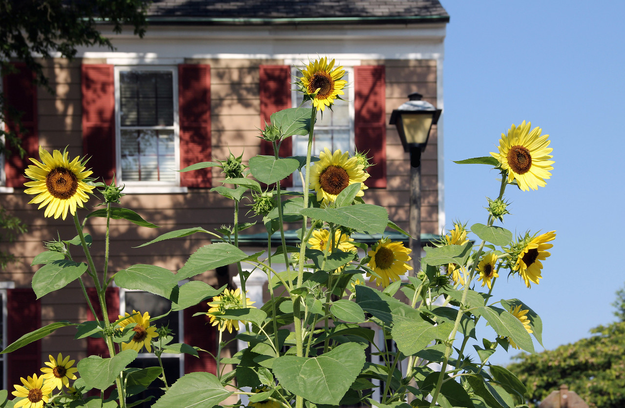 Sunflowers on Washington St, Portsmouth VA