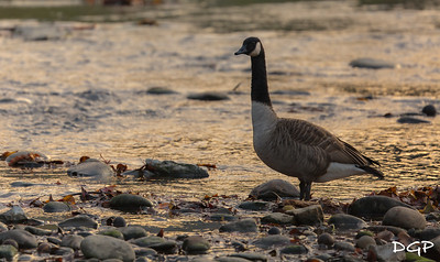 Canadian Goose Sunrise