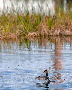 """Moon Walking Merganser"""