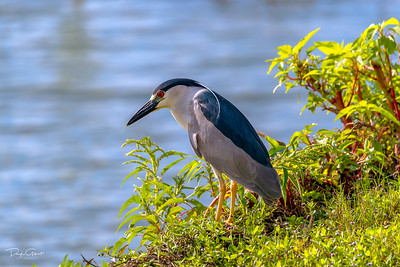 """Black-crowned Night-Heron"""
