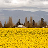 RoozenGaarde Dutch Daffodils in full bloom in the Skagit Valley protected by the Skagit Mountain Range
