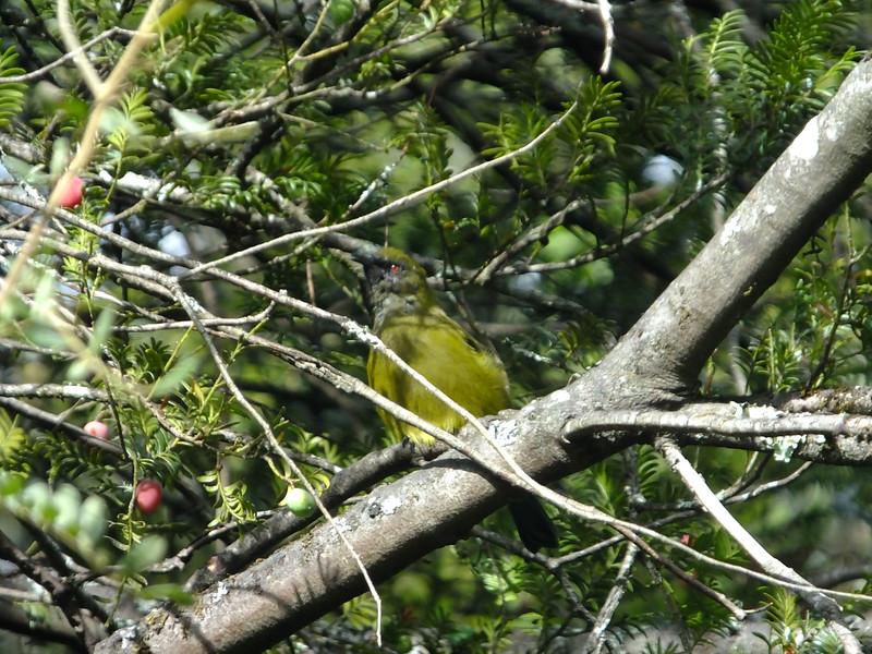 Bellbird, Tongariro National Trout Centre