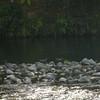 Whio, Tongariro River
