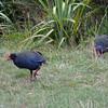 Takahe, Zealandia