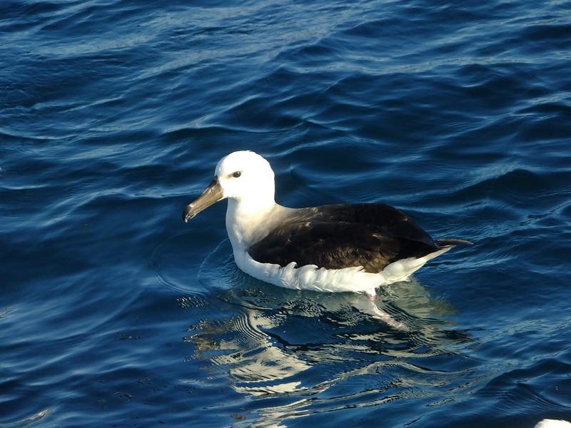 White-capped Albatross (?), Kaikoura