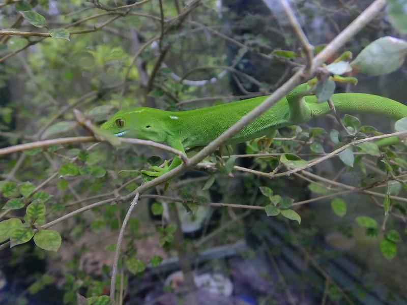 Green gecko, Zealandia