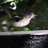Stitchbird, Tiri Tiri Matangi