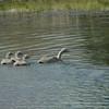 Cape Barren Geese, Riverbridge