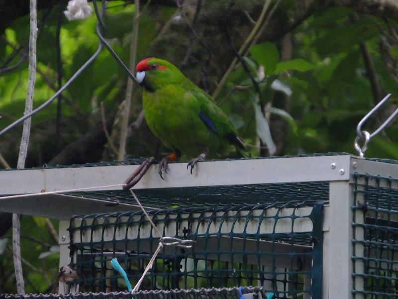 Red-crowned Parakeet, Zealandia