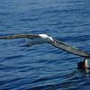 Wandering Albatross, Kaikoura