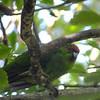 Red-crowned Parakeet, Tiri Tiri Matangi