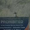Kingfisher, Ashley Estuary