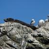 NZ Fur Seal, Red-billed Gull, Kaikoura