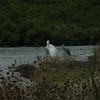 White Heron & White-faced Heron, Miranda