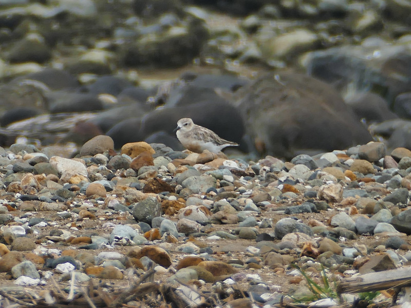 At Tararu in a newly established nesting area