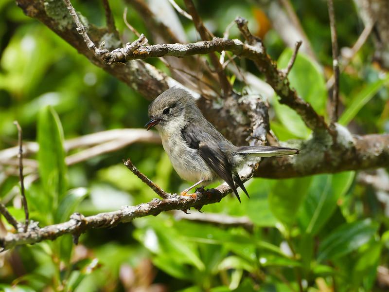 Stewart Island tomtit / miromiro (female)