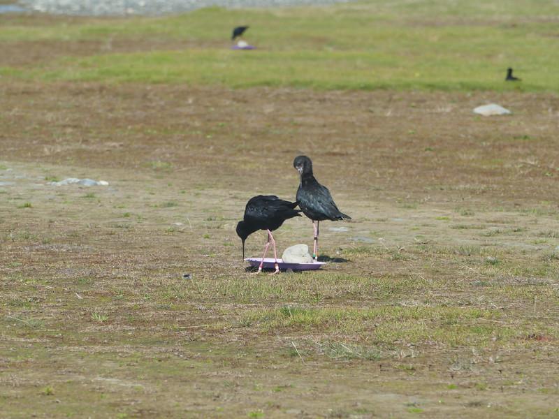 Black stilt / kaki