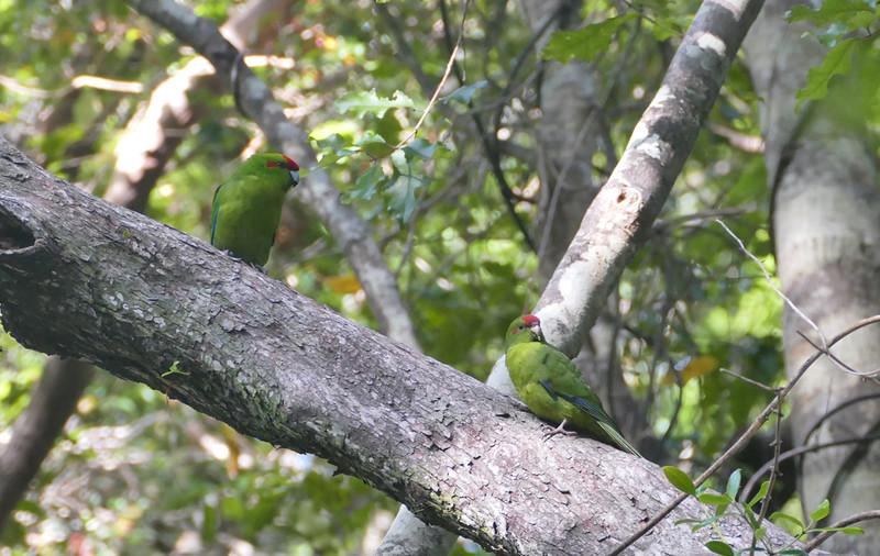 Red-crowned parakeet / kakariki