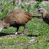 Buff (eastern) weka