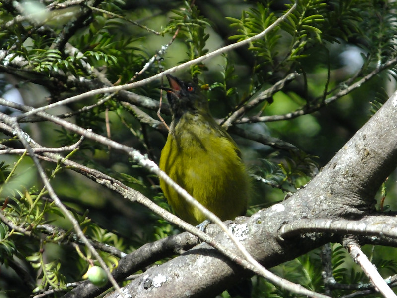Bellbird / koromako