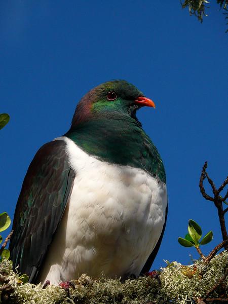 NZ pigeon / keruru