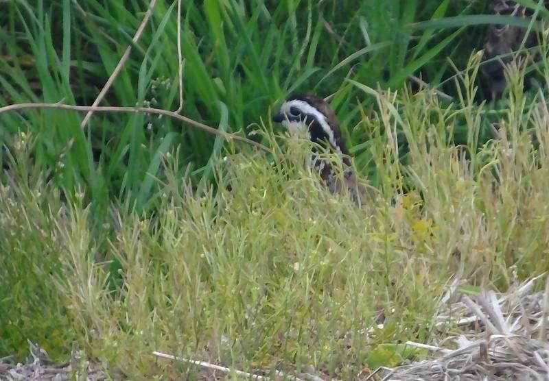 Bobwhite quail (male)