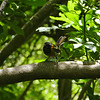 Stitchbird / hihi (male)