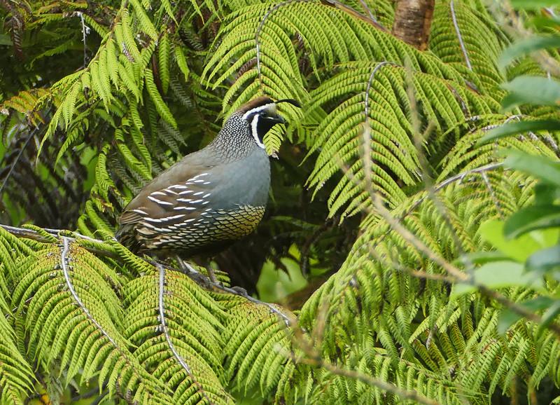 California quail - male