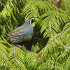 California quail - male