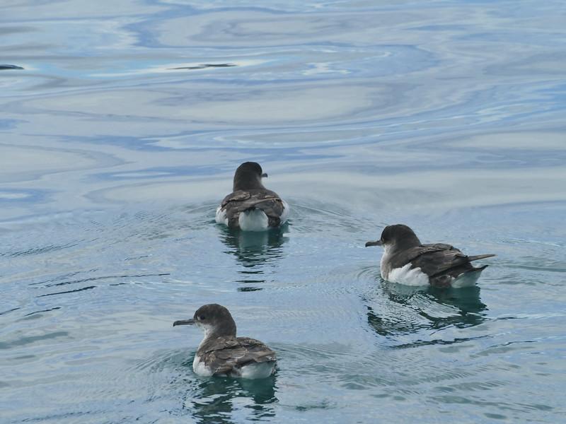 Fluttering shearwater / pakaha
