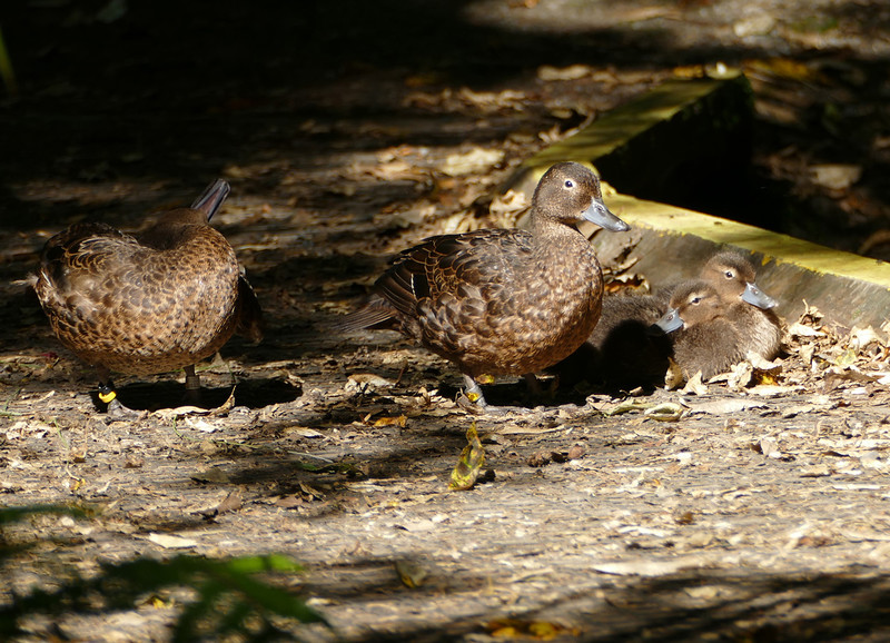 Pateke - the bush duck