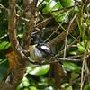 Stewart Island tomtit / miromiro (male)