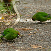 Yellow-crowned parakeet / kakariki
