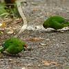 Yellow-crowned parakeet / kakariki