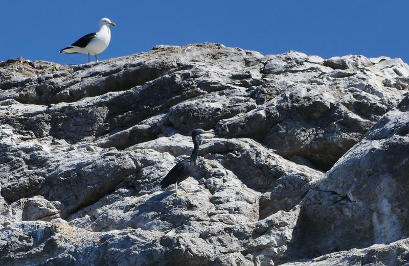 Reef heron / matuku moana