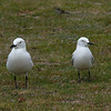 Black-billed gull / tarapuka