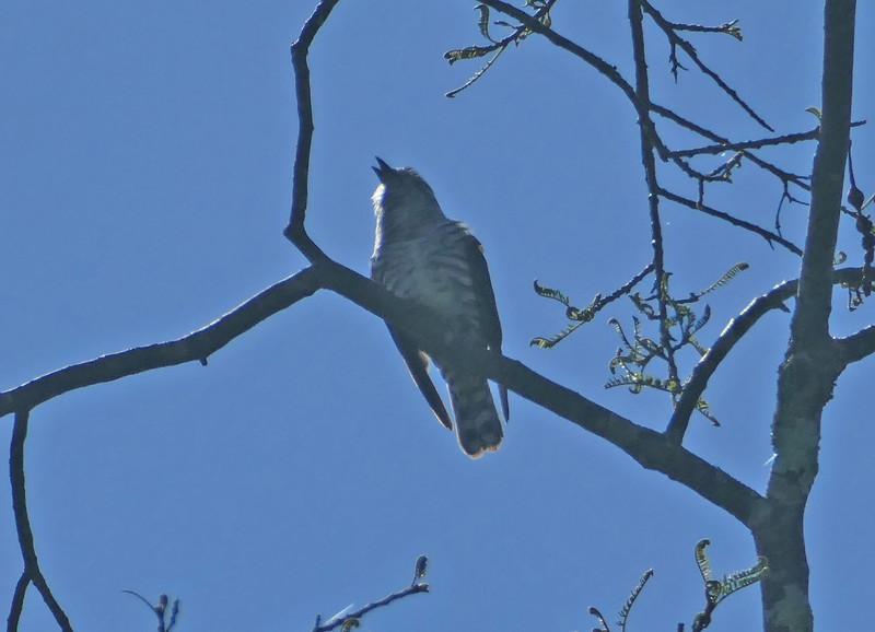 Shining cuckoo / pipiwharauroa