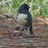 Stewart Island robin / toutouwai