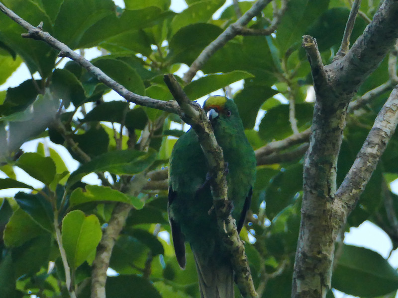 Orange-fronted parakeet / kakariki