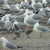 Red-billed gull colony
