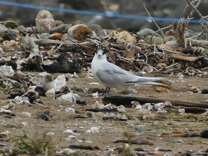 White-fronted tern / tara & chick