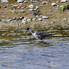 Black stilt / kaki (immature)