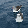 Salvin's and White-capped albatross