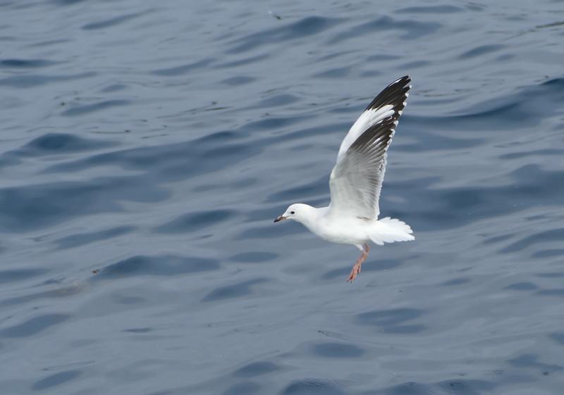 Red-billed gull / tarapunga
