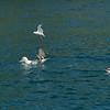 Three albatross species